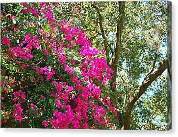 Wild Bougainvillea Canvas Print by Aimee L Maher Photography and Art Visit ALMGallerydotcom