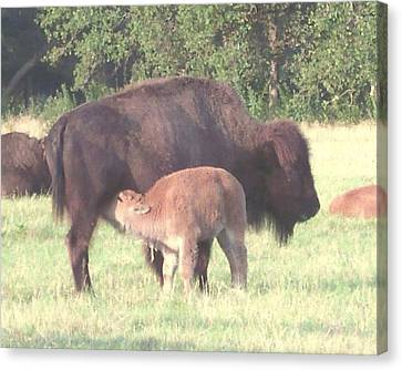 Wild Buffalo And Baby Canvas Print by Rosalie Klidies