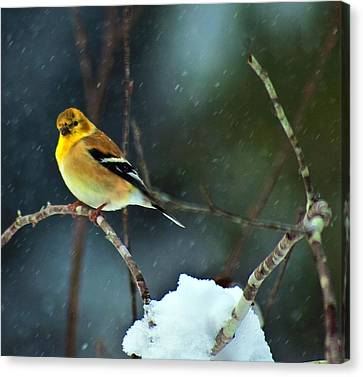 Canvas Print featuring the photograph Wild Canary by John Harding