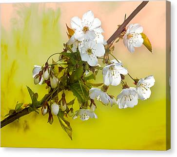 Wild Cherry Blossom Cluster Canvas Print by Jane McIlroy