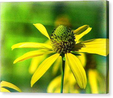 Wild Coneflower Secret Meadow Sandia Mountains Albuquerque New Mexico Canvas Print by Douglas MooreZart