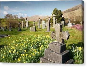 Wild Daffodils In Troutbeck Churchyard Canvas Print