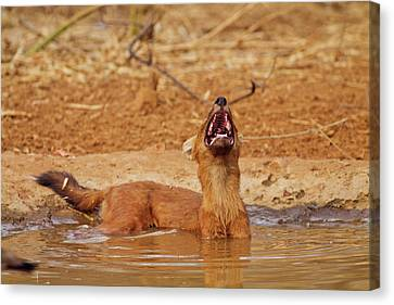 Wild Dog Catching The Scent, Tadoba Canvas Print