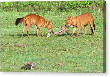 Carcass Canvas Print - Wild Dogs Playing With A Carcass by K Jayaram