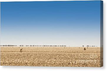 Wild Emus Canvas Print by Tim Hester