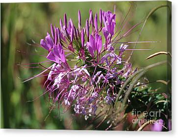 Wild Flower Canvas Print by Cynthia Snyder