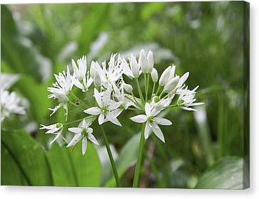 Wild Garlic (allium Ursinum) Canvas Print by Chris Dawe/science Photo Library