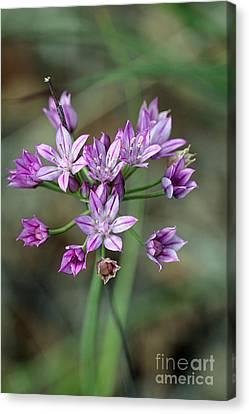 Wild Garlic - Allium Drummondii Canvas Print