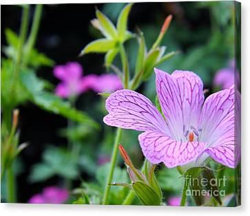 Wild Geranium Flowers Canvas Print by Clare Bevan