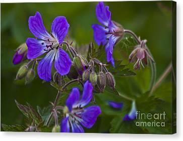Macro Geranium Flower Canvas Print - Wild Geranium by Heiko Koehrer-Wagner