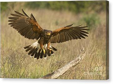Wild Harris Hawk Landing Canvas Print by Dave Welling