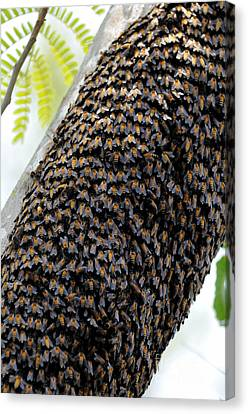 Wild Honey Bees Canvas Print by Fletcher and Baylis