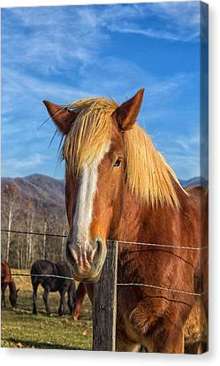 Wild Horse At Cades Cove In The Great Smoky Mountains National Park Canvas Print