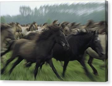 Wild Horse Equus Caballus Herd Canvas Print by Konrad Wothe