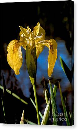 Wild Iris Canvas Print by Robert Bales