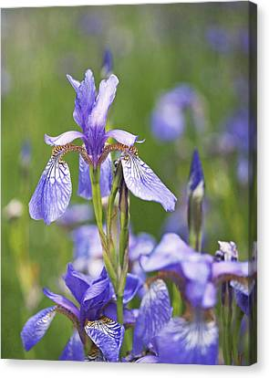 Wild Irises Canvas Print by Rona Black