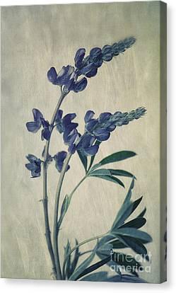 Wild Lupine Canvas Print by Priska Wettstein