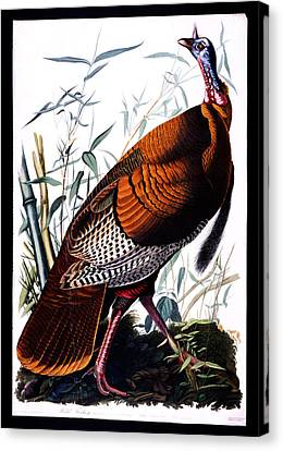 Wild Male Turkey Canvas Print by Celestial Images
