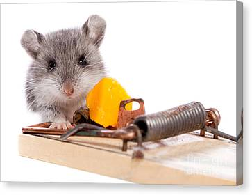 Wild Mouse And Mousetrap With Cheese Close Up Isolated Canvas Print by Cindy Singleton