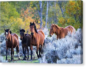 Wild Mustang Autumn Canvas Print by Mike Dawson