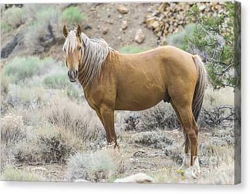 Wild Mustang Stallion Canvas Print