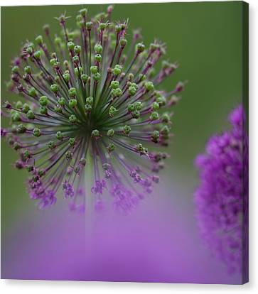 Alliums Canvas Print - Wild Onion by Heiko Koehrer-Wagner