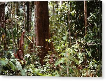 Wild Orangutan Canvas Print