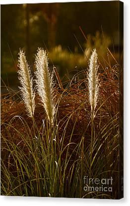 Wild Pampas Grass Canvas Print by Robert Bales