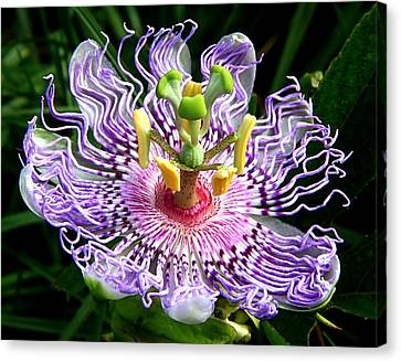 Wild Passion Flower Canvas Print by Ira Runyan