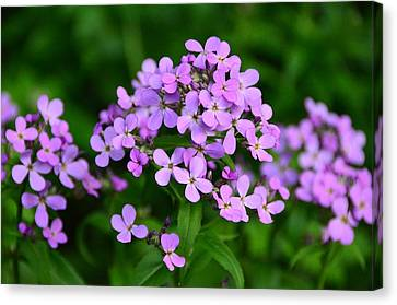Wild Phlox Canvas Print by Debra Martz