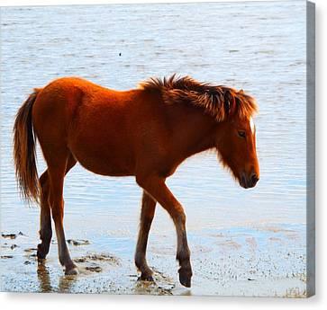 Wild Pony Canvas Print by Cindy Croal
