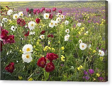 Wild Poppies South Texas Canvas Print