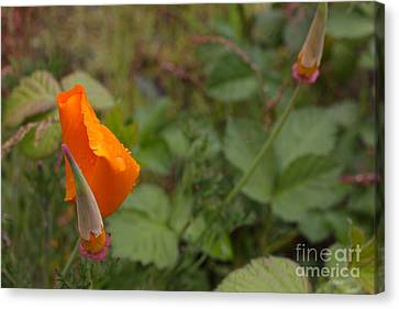 Wild Poppy Rain Canvas Print by Tim Rice