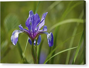 Wild Purple Iris 1 Canvas Print