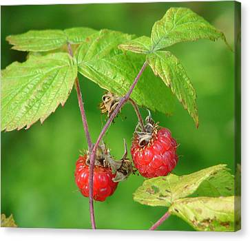 Wild Raspberries Canvas Print by Lew Davis
