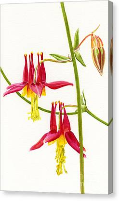 Wild Red Columbine Blossoms Canvas Print