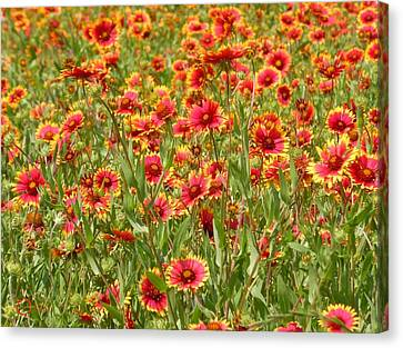 Canvas Print featuring the photograph Wild Red Daisies #1 by Robert ONeil