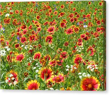 Canvas Print featuring the photograph Wild Red Daisies #3 by Robert ONeil