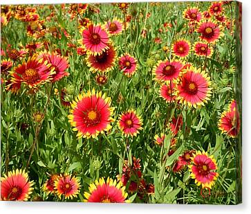 Canvas Print featuring the photograph Wild Red Daisies #4 by Robert ONeil