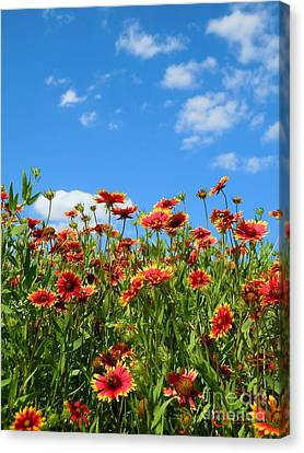 Canvas Print featuring the photograph Wild Red Daisies #5 by Robert ONeil