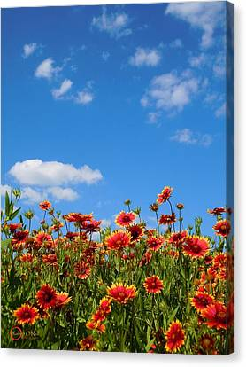 Canvas Print featuring the photograph Wild Red Daisies #6 by Robert ONeil
