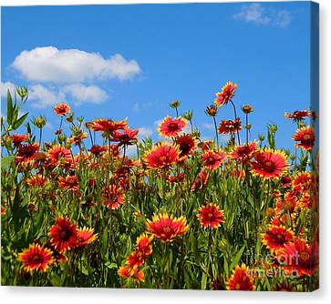 Canvas Print featuring the photograph Wild Red Daisies #7 by Robert ONeil