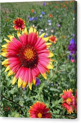 Canvas Print featuring the photograph Wild Red Daisy #1 by Robert ONeil