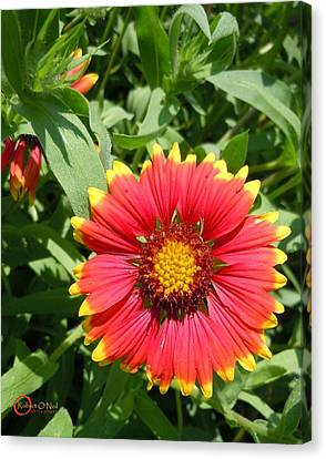 Canvas Print featuring the photograph Wild Red Daisy #2 by Robert ONeil