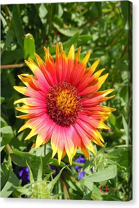 Canvas Print featuring the photograph Wild Red Daisy #3 by Robert ONeil