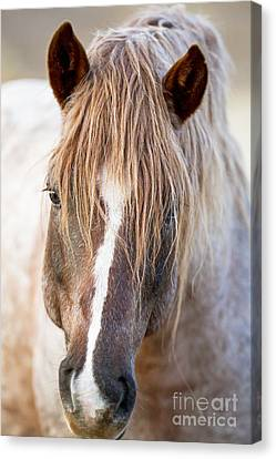 Wild Red Roan Stallion Comes Close Canvas Print by Carol Walker