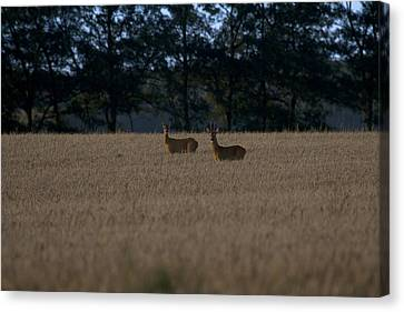 Wild Roe Deer During The Rut Canvas Print