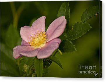 Wild Rose Canvas Print by Alana Ranney