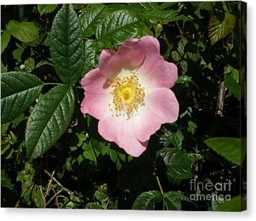 Wild Rose Canvas Print by Ann Fellows