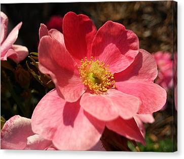 Canvas Print featuring the photograph Wild Rose by Caryl J Bohn